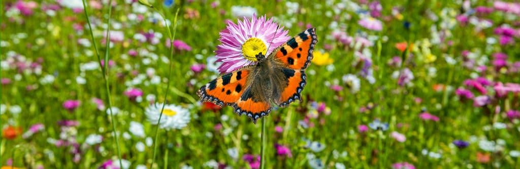 Growing Tips for Wildflower Beds
